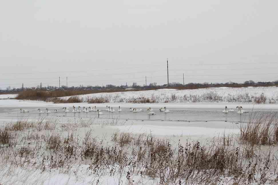 В Першотравенске спасали лебедей
