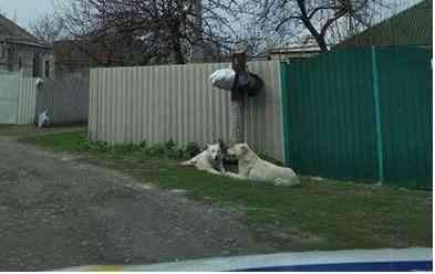 Два алабая, в Павлограде, парализовали жизнь одного переулка