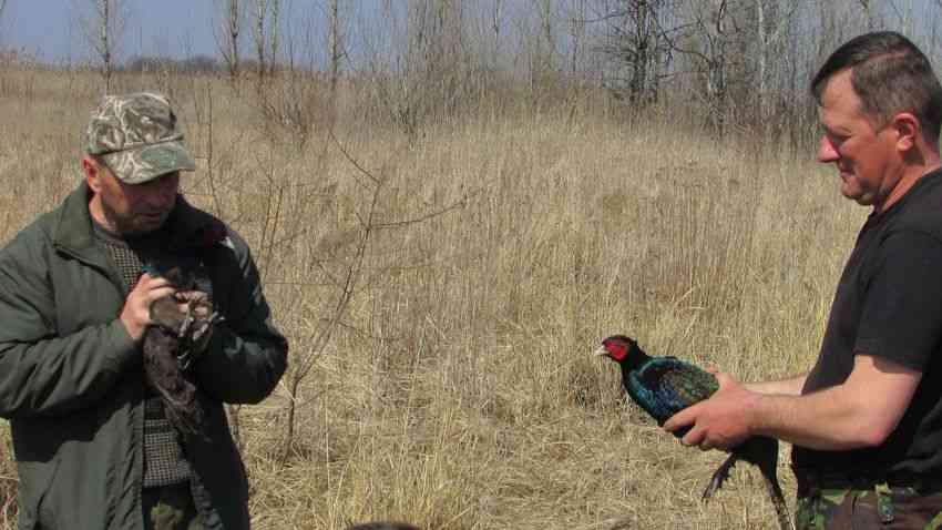 Сотня юных фазанов разлетелась по лесам Павлоградщины