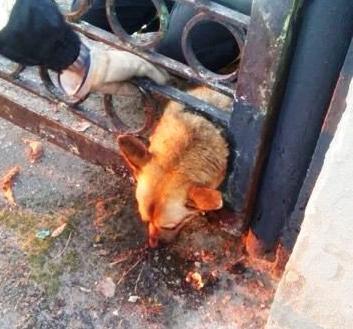 6  чоловікiв у місті Павлоград визволили собаку із залізної пастки