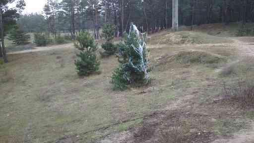 Будем жить: в Павлоградском лесу обнаружена  новогодняя  елочка
